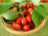 Plody dřínu, dřínky, můžeme konzumovat.