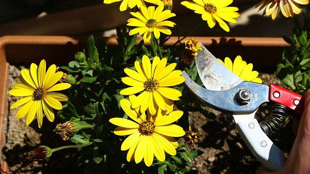 Důležité je odstraňování starých květů.