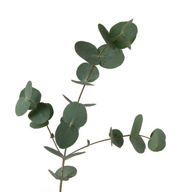 větvičky s mladými listy blahovičníku (eukalyptu) jsou krásné i samotné