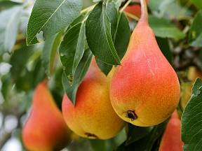Hruška - zralé plody.