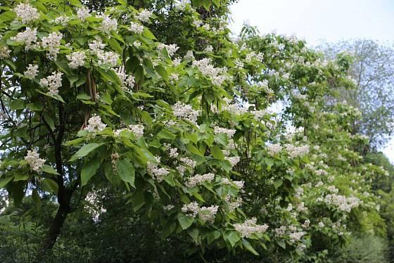 Katalpa trubačovitá (Catalpa bignonioides)