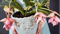 Překrásná pokojová rostlina se může stát netradičním vánočním dárkem.