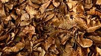Listí ořešáků se rozkládá pomaleji než listí většiny ostatních dřevin.