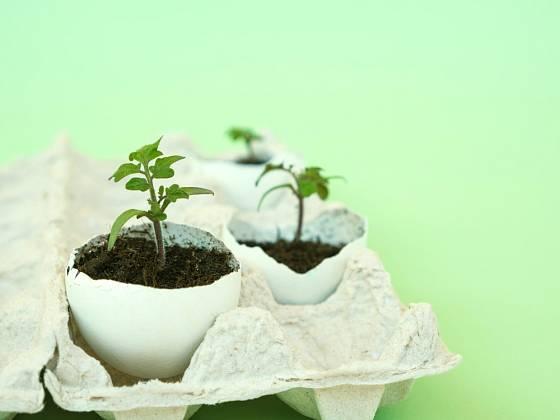 Semenáčky rajčat předpěstované ve vaječné skořápce.