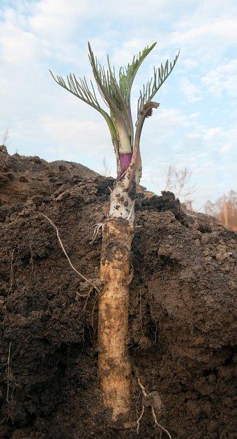 V kypré, lehčí půdě vytvoří křen dlouhé, rovné a silné kořeny