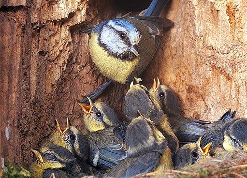 Rodina sýkory modřinky v budce ze špalku
