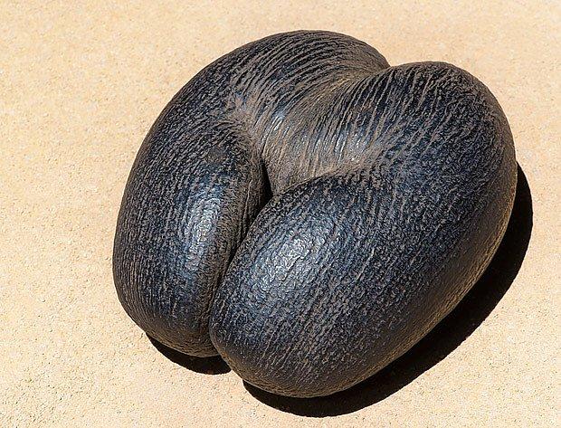 semeno palmy seychelské (Lodoicea maldivica)