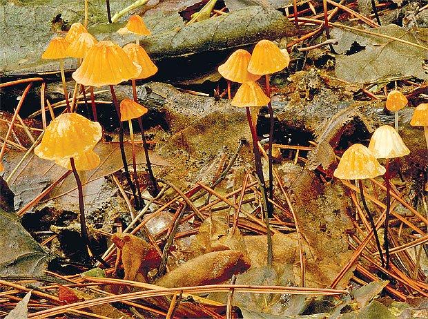 Špička severská (Marasmius siccus)