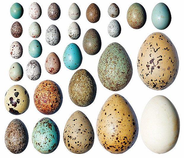 široká škála barev a velikostí vajec