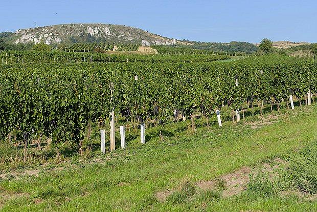 vinice pod Pavlovskými kopvi na Pálavě