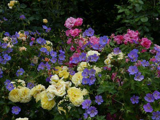 Smíšený záhon mnohokvětých růží v netypické kombinaci žluté (Solero) a růžové (Neon) doplňují kakosty Rozanne.