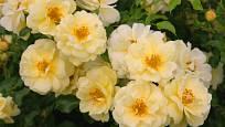 Růže odrůdy Sunny Rose