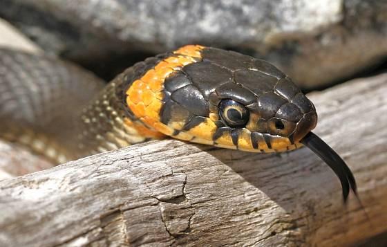 Umět rozeznat užovku od zmije je důležité.