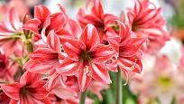 Hvězdníky můžete pěstovat s květy rozličných teplých barev a jemných vzorů