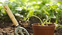Prevencí proti chorobám je zdravá sadba jahodníku