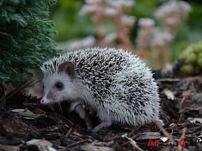 africký pygmy ježek
