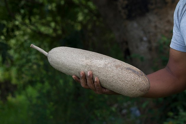 Díky tvaru plodů si kigelie vysloužila přízvisko salámovník.
