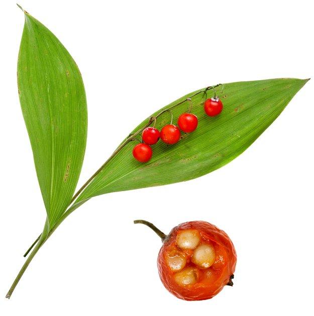 Listy a plody konvalinky