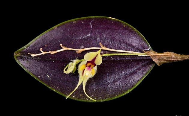 Lepanthes caloura, jedna z orchidejí s drobnými květy.
