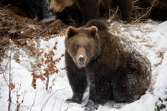 Medvědi hnědí v Národním parku Bavorský les mají rozlehlý výběh.
