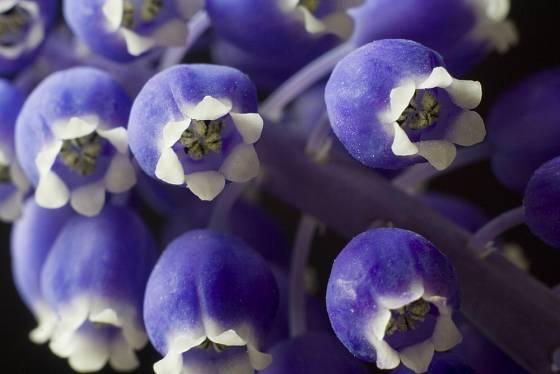 Modřenec, detail květu.