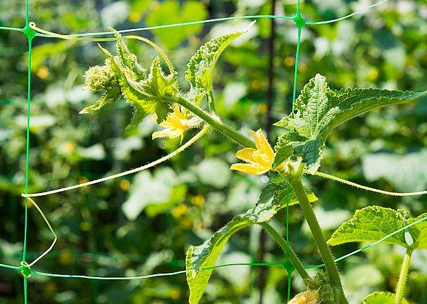 Okurky, popínavé rostliny, je výhodné pěstovat na síti