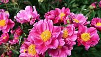 Paeonia lactiflora ´Fu Gui Hong´