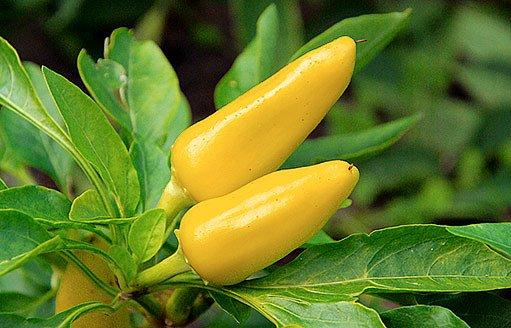 žluté papriky