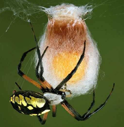 Pavoučice s kokonem