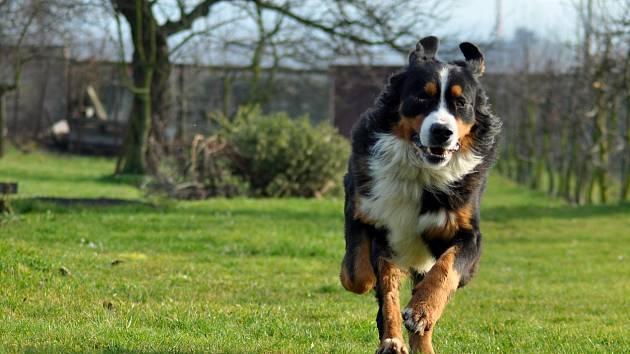 Bernský salašnický pes byl původně pracovním psem.