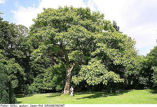 vzrostlá paulovnia plstnatá (Paulownia tomentosa)