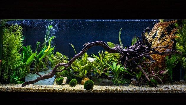 Řasokoule mohou být velmi zajímavou ozdobou akvárií.