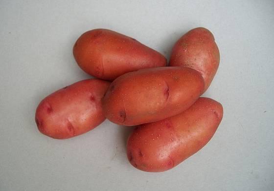 Odrůda brambor Rosara