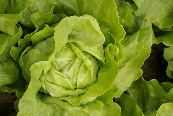 Salát adinal je odolný vůči hořknutí i vybíhání do květu