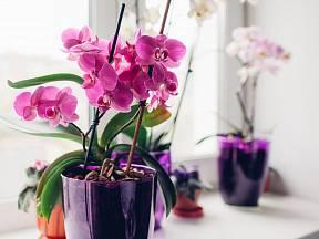 Péče, kterou orchidej vyžaduje, není nijak složitá.