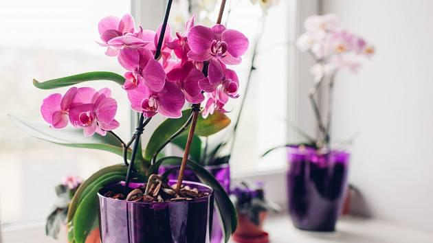Orchideje zdobí nejen naše zahrady, ale častěji i parapety našich oken v bytech či domech