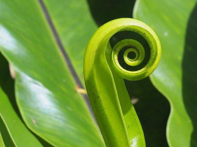 Sleziník je skutečně kapradina, což prozradí i typický způsob rozvíjení listů