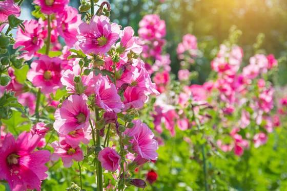 Topolovka růžová (Althaea rosea) zvaná slézová růže