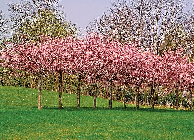 Impozantní podívanou nabízí zástup okrasných třešní Accolade.