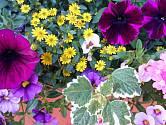 Různé druhy balkonových rostlin.