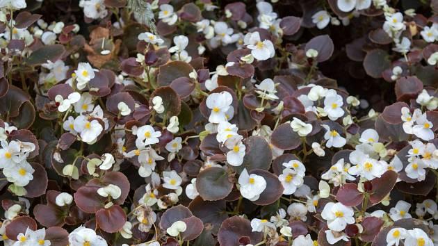 Begónie stálokvětá (Begonia semperflorens) s tmavě zbarvenými listy.