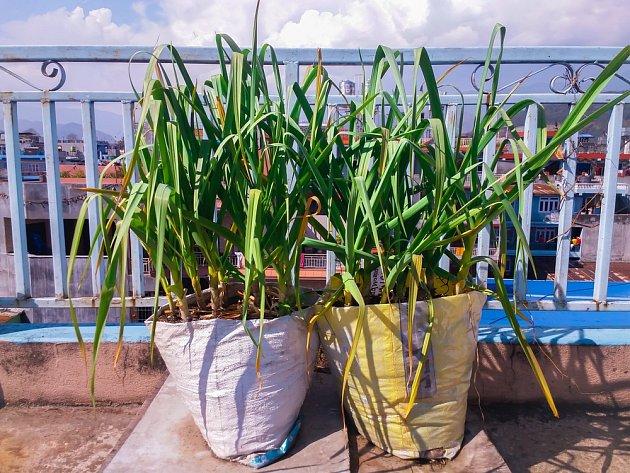 Česnek můžeme pěstovat třeba i v plastových pytlích na balkoně.