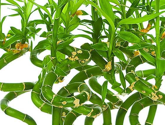 dračinec pruhovaný (Dracaena sanderiana)
