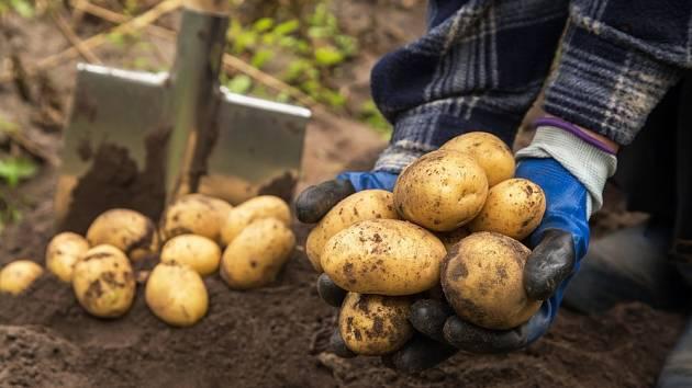 Jak poznáte, že přišel čas sklidit brambory?