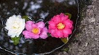 Plovoucí květy kamélií jsou krásnou interiérovou dekorací.