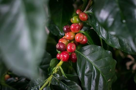 zrající plody kávovníku