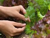 Kopr a saláty můžeme pěstovat společně