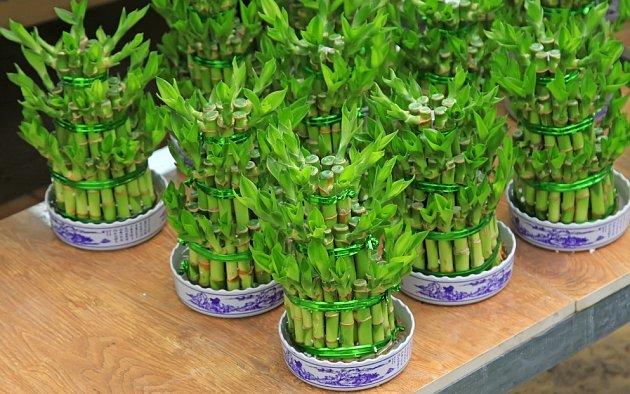 pyramidy ze stonků dračince - lucky bamboo