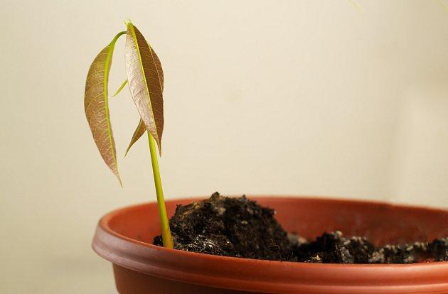 Zasazené rostlině vyberte místo s dostatkem světla