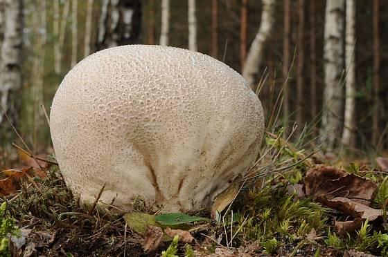 Plešivka dlabaná (Calvatia utriformis), někdy zvaná také pýchavka dlabaná roste někdy v čarodějných kruzích.